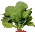 Propiedades curativas de las hojas de rábano como planta medicinal
