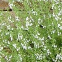 Enfermedades que cura la Ajedrea (Satureja Hortensis) medicinal