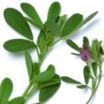 Recetas de alfalfa que sirven para combatir la anemia