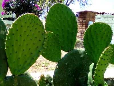 Porque el nopal es importante para los mexicanos
