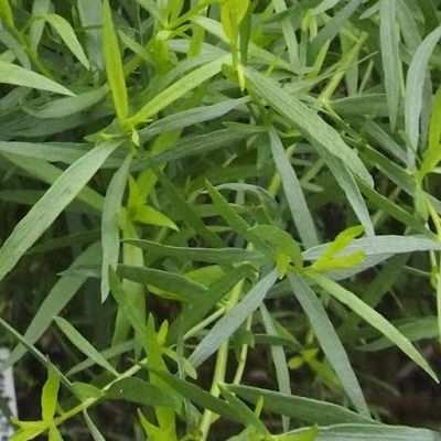 ¿Para qué sirve el estragón como planta medicinal?