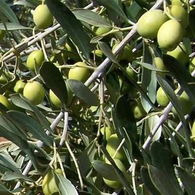 Hoja del árbol de olivo