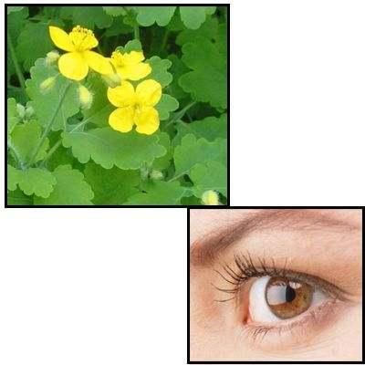 Hierba de la golondrina para los ojos