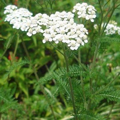 Propiedades medicinales de la planta milenrama