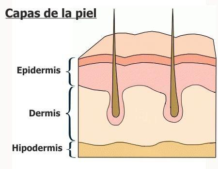 Capas de la piel y sus características
