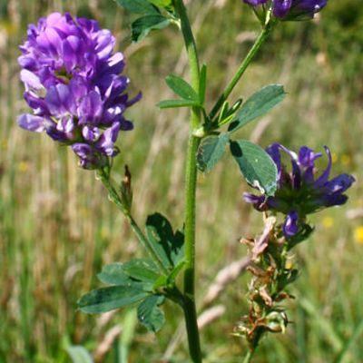 ¿Qué malestares cura la alfalfa?
