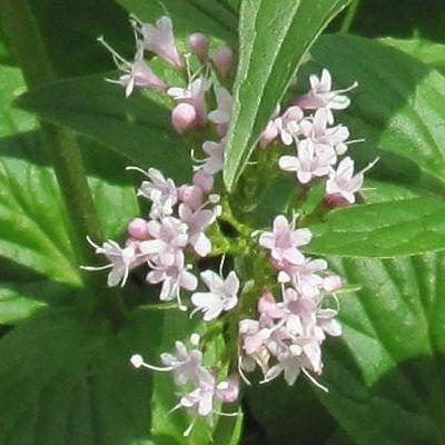 Propiedades curativas de la planta medicinal valeriana
