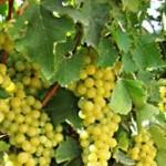 ¿Para qué es bueno la hoja de la planta de uva?