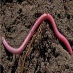 ¿Es malo comerse un gusano?