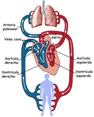 ¿Cómo se oxigena la sangre en el corazón?