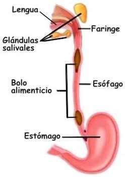 ¿De qué forma la saliva contribuye al proceso de digestión?