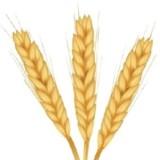 Importancia nutricional del trigo