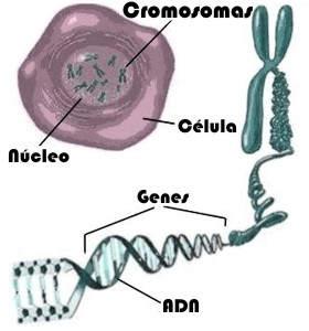 ¿Para qué sirven los cromosomas en el ser humano?