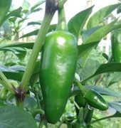 ¿El chile es verdura o fruta?