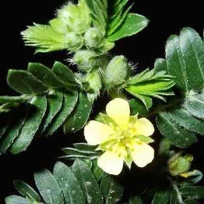 Importancia de la planta llamada abrojo como planta medicinal