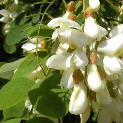 Propiedades y usos medicinales de la planta acacia falsa