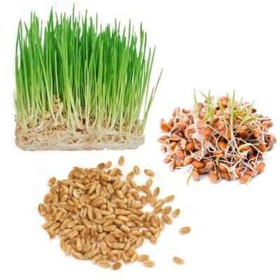 ¿Para qué es bueno el germinado de trigo?