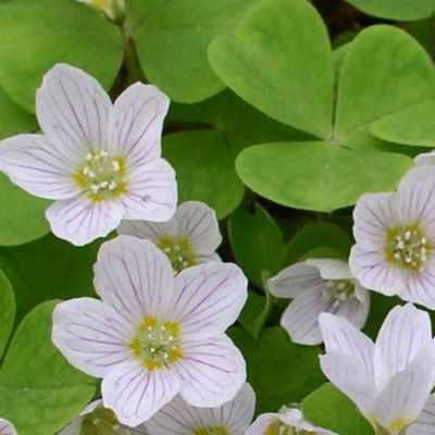 Propiedades medicinales de las hojas de la planta aleluya