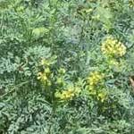 ¿Cuál es la utilidad medicinal de las hojas de ruda
