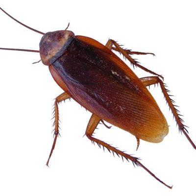 ¿Es malo tener cucarachas en casa?