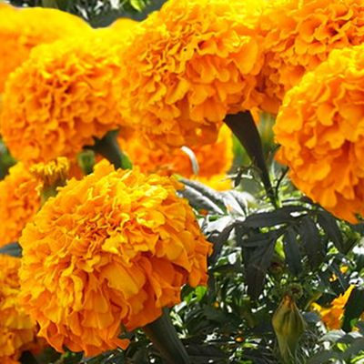 ¿Qué enfermedades cura la flor de cempasúchil?